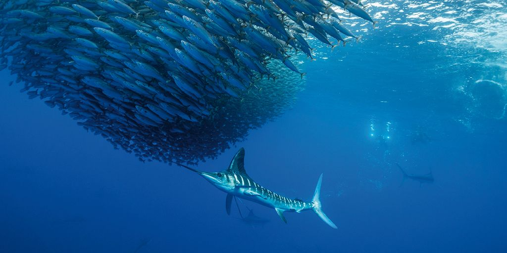 Pesce spada, il guerriero dei mari